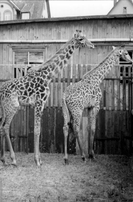 Ruhe1950er-45-Giraffen